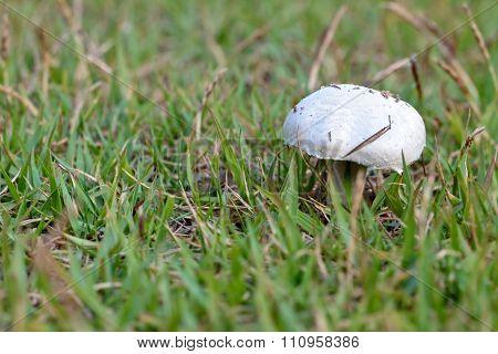 Wild-growing Champgnon (lat. Agaricus Bisporus)