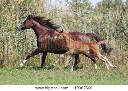 Few Weeks Old Arabian Foal With Her Mare Galloping On Pasture