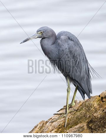 Little Blue Heron Perched On A Log - Florida