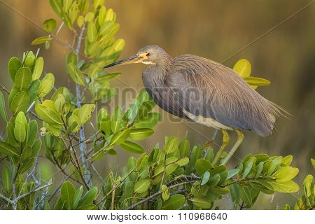 Tricolored Heron In Early Evening Light - Florida