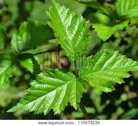 Leaves Of Blackberry