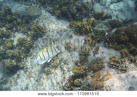 Convict tang is a small surgeonfish in family Acanthuridae