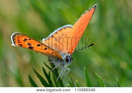 Turkish firey copper butterfly (Lycaena ochimus)