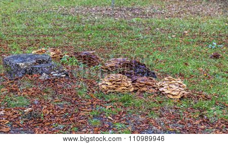 Parsitic mushrooms (fam. Armillaria) on earth near a stub in a forest in autumn. poster