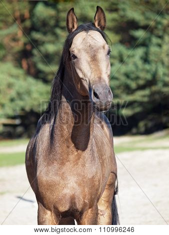 Portrait of young dun horse