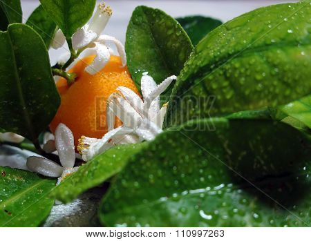 ORANGE TREE BRANCH, LEAF, FRUIT AND FLOWERS 3