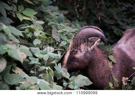 Nilgiri Tahr in National Park