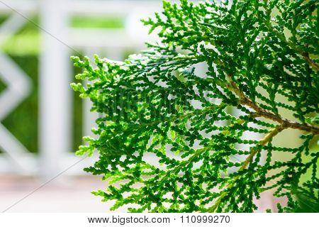 Hinoki cypress .green color tree