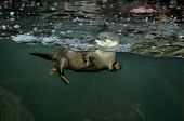 otter swimming in a tank under water his head sticking out poster
