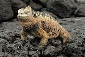 The marine iguana on the black stiffened lava. The male of marine iguana (Amblyrhynchus cristatus) is an iguana found only on the Galapagos Islands poster