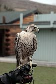 a falcon perched on its trainers hand poster