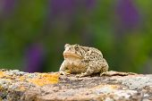A Woodhouse's Toad sitting on a rock, with a lavender bush in the background. Taken in Colorado, USA. June 2009 poster