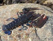 live lobster on a rock coverd in barnacles poster