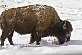 bison trying to survive by sweeping snow away from grasses for food poster