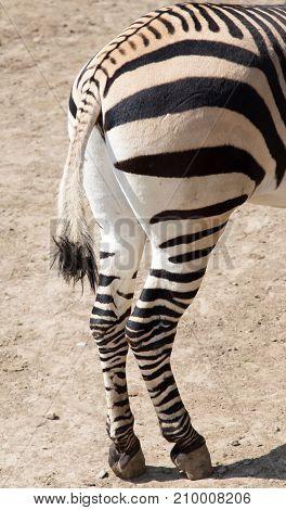 zebra hooves . In the park in nature
