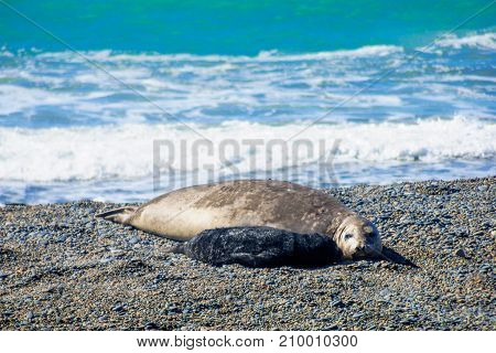 Mother And Cub Elephant Seal In Valdes Peninsula