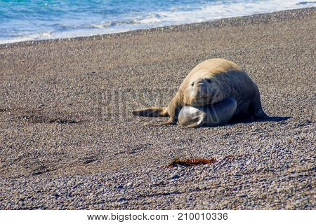 Male And Female Elephant Seal In Valdes Peninsula