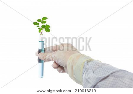 the hand of the scientist in a special suit keeps the tree in a flask isolated on white