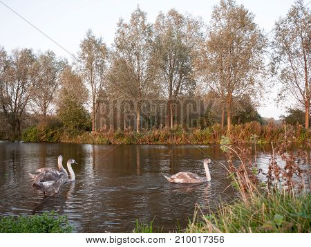 Beautiful Fully Grown Grey Cygnet Swans On Lake Top Autumn