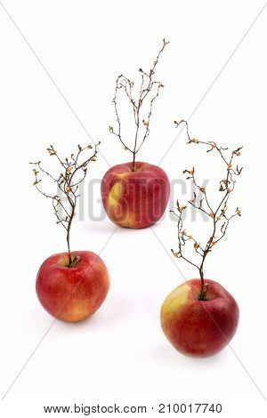 Three ripe red apples with a plant like a tree