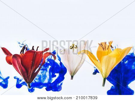 Red, yellow and white lily flowers isolated on background.