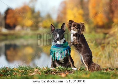english bull terrier and chihuahua dogs posing in autumn