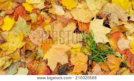 Bright Colorful Autumn Background From Fallen Leaves Of Maple