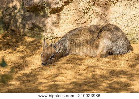 Danara Dik Dik, from southern africa. Dik-dik of Kirk, Madoqua kirkii, Bovidae, Antilopinae, Artiodactyla