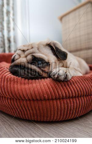 The sad pug lies on the lounger