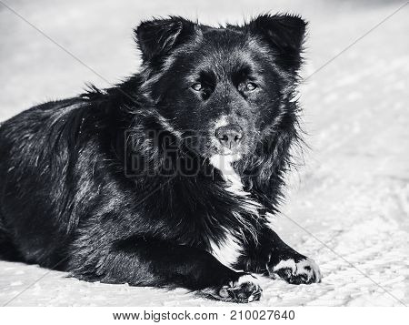 A stray dog lies on the snow monochrome photo. Homelessness loneliness hunger.