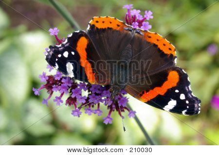 Red Admiral Butterfly 01