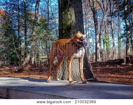 boxer dog fetches a stick in the forest poster