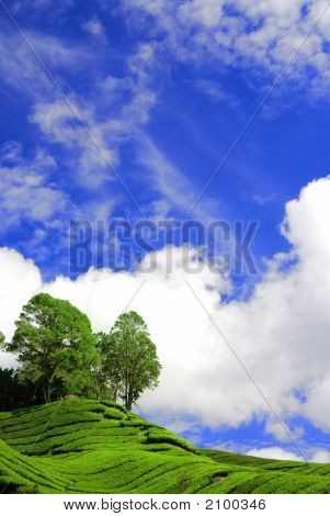 Tea Plantation Under The Blue Sky