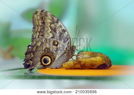 Owl Butterfly Caligo Memnon feeding in a sanctuary
