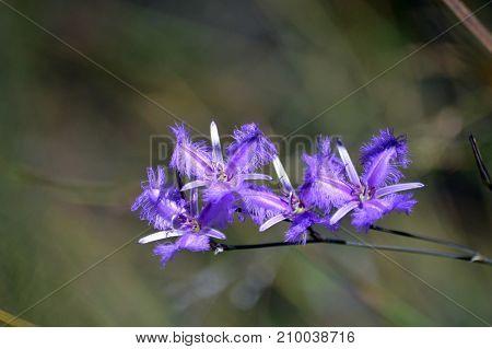 Purple Australian native Common Fringe lilies, Thysanotus tuberosus, blooming in heath in the Royal National Park, Sydney, Australia