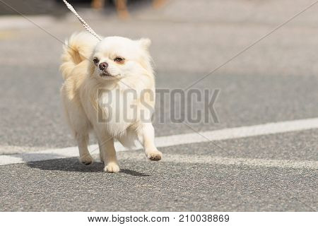 Chihuahua small dog walks on the asphalt road Close-up. Space under the text. 2018 year of the dog in the eastern calendar Concept: parodist dogs, dog friend of man, true friends, rescuers.