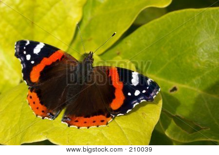 Red Admiral 03