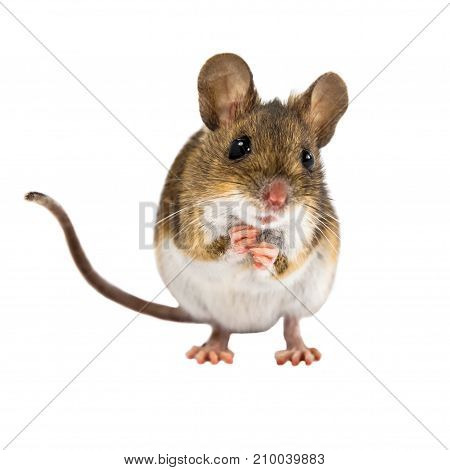Begging Field Mouse On White Background