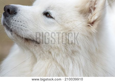 Samoyed dog - Samoyed, one of the oldest breeds of dogs. Refers to a group of Spitz. Space under the text. 2018 year of the dog in the eastern calendar Concept: friend, protection, loyalty, vigilance, security