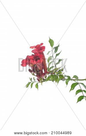 blooming red flower Campsis on a white background