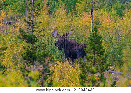 A Large Bull Moose in an Autumn Hillside in Colorado