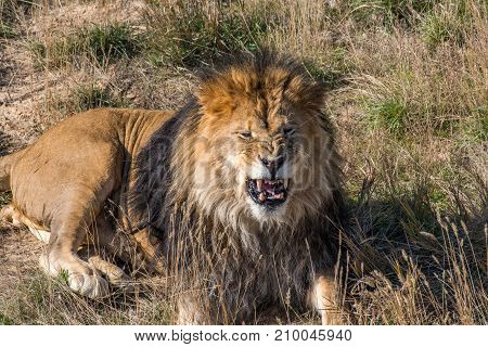 A Male African Lion Growls and Shows its Teeth