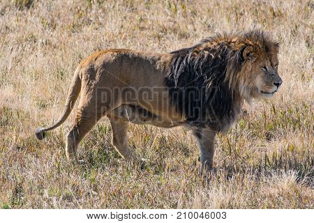 A Male African Lion on a Hot Sunny Day