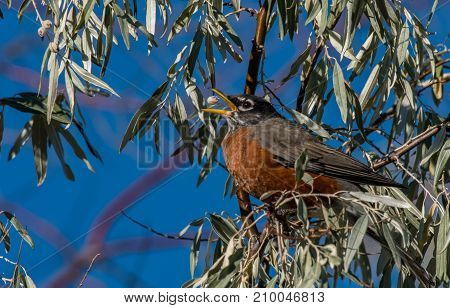 An American Robin Tosses A Berry and Catches it before Consuming