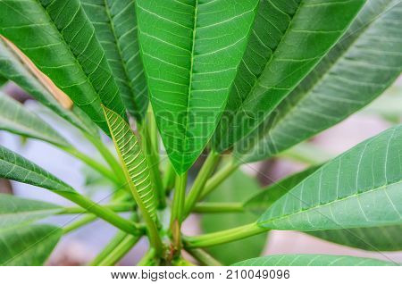 Close up of bright green leaves for texture or background. Abstract nature image. Shallow dept of field and soft focus