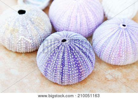 colorful shells of sea urchins from Aegean sea Greece
