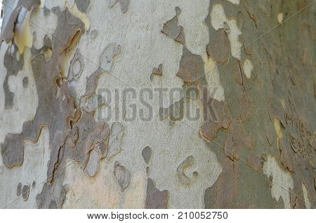 Close-up Of Planetree Bark