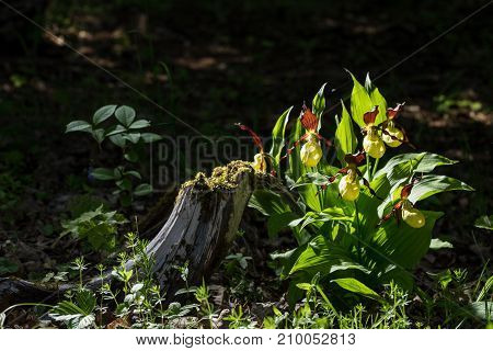 Lady's Slipper Orchid flower. Yellow with red petals blooming flower in natural environment. Lady Slipper Cypripedium calceolus. Kesselaid a small island in Estonia. Nordic countries Europe