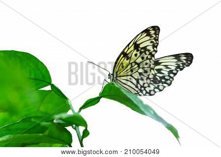 Idea leuconoe butterfly sitting on a leaf on white background