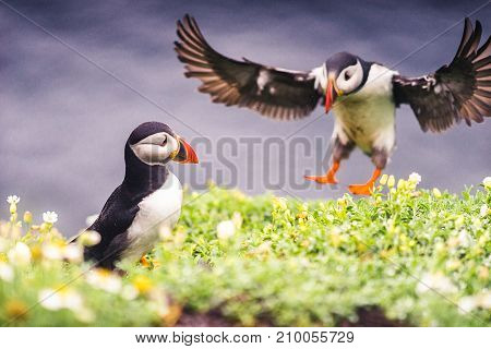 Puffins of Ireland. Flying and nesting on the Skellig Islands